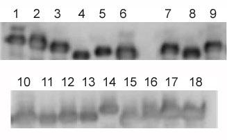 Western blot - HLA Class 1 ABC antibody [EMR8-5] (ab70328)