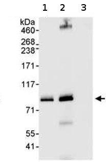 Immunoprecipitation - PRKRIR antibody (ab70334)