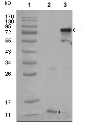 Western blot - PPAR gamma  antibody [3A4A9,1E6A1] (ab70405)