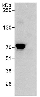 Immunoprecipitation - Lysyl tRNA synthetase antibody (ab70524)