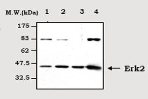 Western blot - ERK2 antibody [1A8] (ab70532)