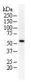 Western blot - hHR23b antibody [2857D7a] (ab70602)