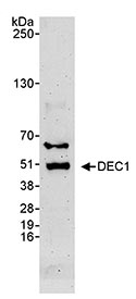 Western blot - SHARP2 antibody (ab70723)
