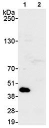 Immunoprecipitation - PRMT1 antibody (ab70724)