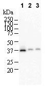 Western blot - NTH1 antibody [2660C1a] (ab70726)