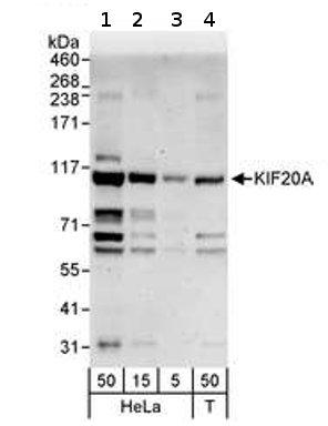 Western blot - KIF20A antibody (ab70791)