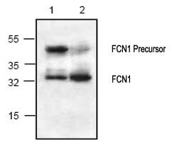 Western blot - FCN1 antibody (ab70814)