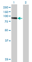 Western blot - PTPDC1 antibody (ab70872)