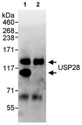 Immunoprecipitation - USP28 antibody (ab70894)