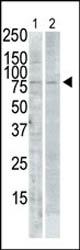 Western blot - PLK2 antibody (ab71311)