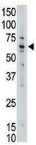 Western blot - MLLT1 antibody - C-terminal (ab71477)