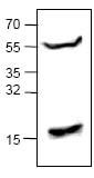 Western blot - BMP3 antibody (ab71500)