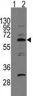 Western blot - APPBP1 antibody - C-terminal (ab71526)
