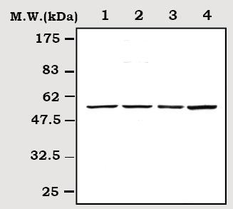 Western blot - Anti-Cyclin E1 antibody (ab71535)