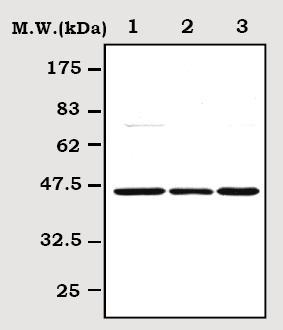 Western blot - ERK1 antibody (ab71541)