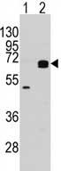 Western blot - APPBP1 antibody - N-terminal (ab71542)