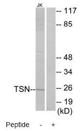 Western blot - Translin antibody (ab71775)