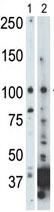Western blot - NEK9 antibody - C-terminal (ab71812)