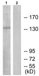 Western blot - DNA Ligase I antibody (ab71832)