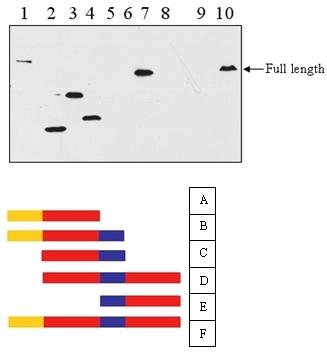 Western blot - Hho1 antibody (ab71833)