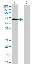Western blot - ZNF529 antibody (ab71891)