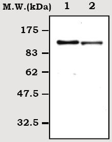 Western blot - C6 antibody [13H5] (ab71942)