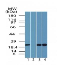Western blot - SR1 antibody (ab71983)