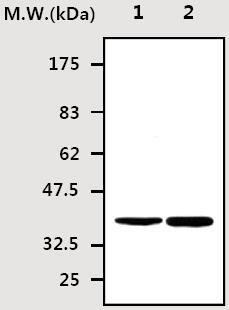 Western blot - PON3 antibody [5G11] (ab71994)