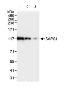 Western blot - SAPS1 antibody (ab72030)