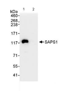 Immunoprecipitation - SAPS1 antibody (ab72030)