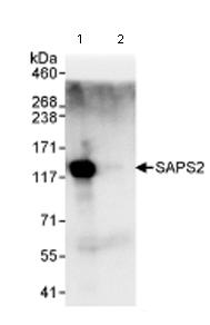 Immunoprecipitation - SAPS2 antibody (ab72032)