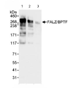 Western blot - BPTF / FALZ antibody (ab72036)