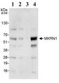 Western blot - MKRN1 antibody (ab72054)