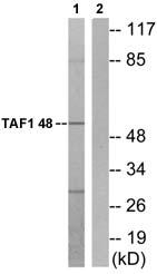 Western blot - TAF1 48 antibody (ab72065)