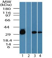 Western blot - CCDC50 antibody (ab72082)