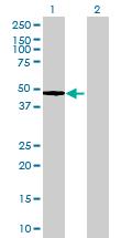 Western blot - MRPS35 antibody (ab72087)