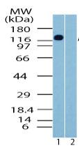 Western blot - AMBRA1 antibody (ab72098)