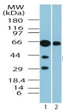 Western blot - GPCR RDC1 antibody (ab72100)