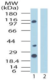 Western blot - Importin 8 antibody (ab72109)