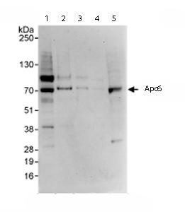 Western blot - Apc6 antibody (ab72136)