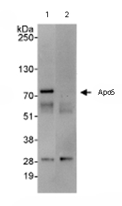 Immunoprecipitation - Apc6 antibody (ab72136)