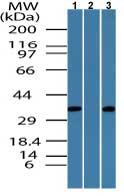 Western blot - Embigin homolog  antibody (ab72195)