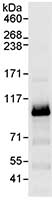 Immunoprecipitation - Cdc27 antibody (ab72214)
