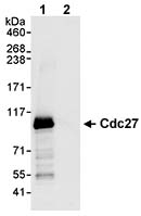 Immunoprecipitation - Cdc27 antibody (ab72217)