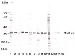 Western blot - Cowdria Ruminantium antibody [1E5H8] (ab72231)
