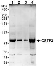 Western blot - CSTF3 antibody (ab72299)