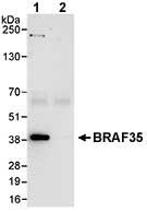 Immunoprecipitation - BRAF35 antibody (ab72302)