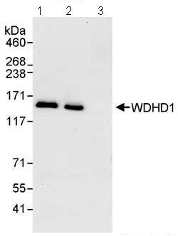 Immunoprecipitation - WDHD1 antibody (ab72429)