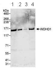 Western blot - WDHD1 antibody (ab72436)