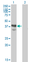 Western blot - IMPACT antibody (ab72444)